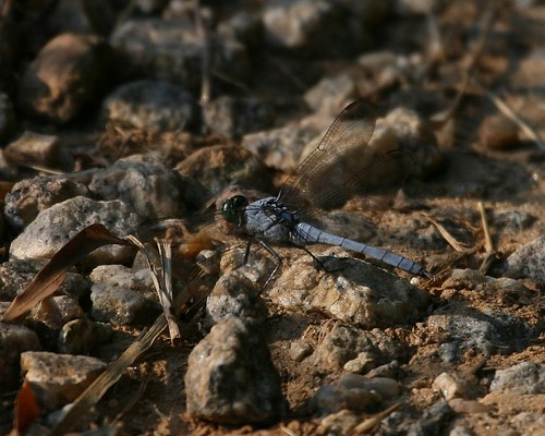Dragonfly on ground