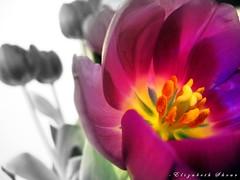 Just a little different. (ellie_4_jc) Tags: interestingness elizabeth purple tulips january explore 2008 interestingness9 prophetic shear propheticphotography onlythebestare explore7feb08 february720089