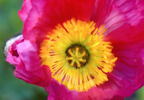 Lensbaby Poppy