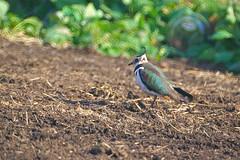 IMGP0164 (ken--) Tags: bird lapwing yao tageri