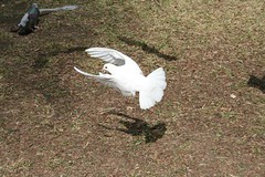 Dove (bing0) Tags: shadow white motion bird birds flying wings action dove stop flapping flap pidgeon arrested