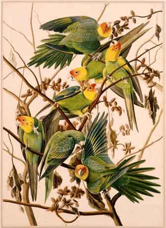Carolina Parakeet (Conuropsis carolinensis), ca. 1825