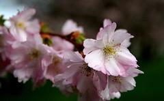 zierk_4_150308 (siggi2234) Tags: schwetzingen blüten moschee zierkirschen