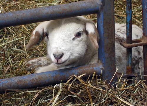 Lamb behind gate