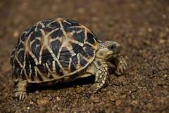 Indian Star Tortoises