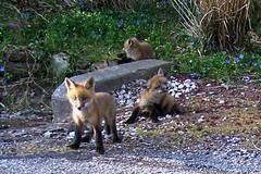foxes 202 (hartjeff12) Tags: foxes