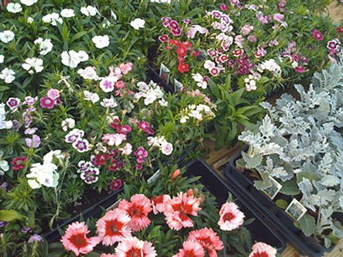 Flats of Flowers for Sale