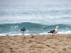 "Surfer ""Girl"" (RiCArdO JorGe FidALGo) Tags: surf seagull sony sintra gaivota praiadasmaçãs applebeach dsch2 fidalgo72 ricardofidalgo ricardofidalgoakafidalgo72"