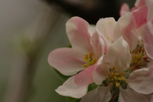 Pink Apple Blossom in the Shaded Evening Garden