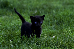 Jungle Cat (Domain Barnyard) Tags: black male cat furry kitten feline flickr blueeyes nevada kitty best socrates f56 2008 4weeksold tingey 185mm domainbarnyard kissablekat canoneos40d onephotoweeklycontest