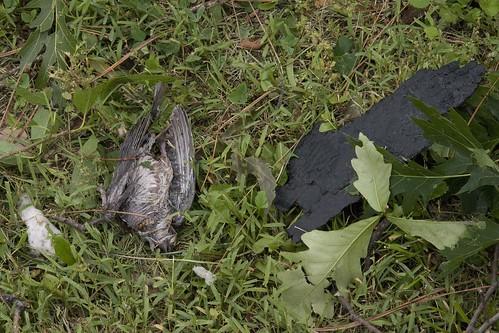 Dead tornado bird