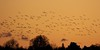 sunset flyby (sussexscorpio) Tags: goose östhammar nature clouds sunset golden light silhouettes geese birds fly flying scandinavia sweden osthammer europe canon canon60d trees autumn feathers beak aves turning ontheturn color colour yellow flight outdoor landscape