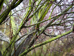 New Buds in the Rain (Explore 2/15/17) (gwshamb) Tags: leaves color buds nature flower life trees limbs raindrops rain california light