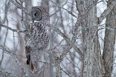 Great Gray Owl (NicoleW0000) Tags: great gray owl wild wildlife photography