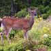 Virginia Deer Photo 11
