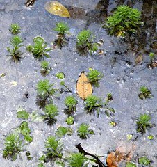 Brazilian water-milfoil (Myriophyllum aquaticum) ...... HELECHITO DEL AGUA ~ Original = (2271 x 2410) (turdusprosopis) Tags: aquariumplants aquaticplants aquaticplant saxifragales myriophyllum watermilfoil parrotsfeather millefeuilleaquatique myriophyllumproserpinacoides haloragaceae pinitos plantasacuticas bemcasados threadoflife myriophyllumaquaticumvellverdc myriophyllumaquaticum plantesaquatiques floraargentina invasiveplantspecies myriophylledubrsil myriophyllumbrasiliense plantasargentinas plantasdeargentina plantasautctonasargentinas plantasautctonasdelaargentina floraautctonaargentina floraautctonadeargentina plantasnativasargentinas plantasnativasdeargentina plantasnativasdelaargentina floradelaargentina floradeargentina plantasautctonasdeargentina floraautctonadelaargentina floranativabrasileira floranativadobrasil floradobrasil argentineindigenousplants argentineflora brazilianwatermilfoil espumadelmar plantasparaacuarios plantasdeacuario yerbadelsapo helechitodelagua helechitodeagua milhojasacutica coladezorroacutica myriophyllums pinheirinhodagua cavalinhodgua milfolhasdagua halogarceas myriophylleaquatique