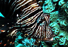 Electric Lionfish (Niall Deiraniya Underwater Photography) Tags: blue sea fish coral marine redsea diving photograph diver reef