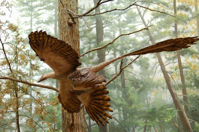 Microraptor flies on four wings (American Museum of Natural History)