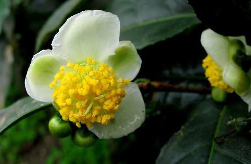 Tea flower. Camellia sinensis.