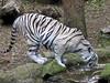 You tiger now (javadoug) Tags: nature zoo nashville tiger bengal naturesfinest canong2 anawesomeshot javadoug gsbviva douglasbauman