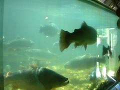 DSCF0062 (Body without a Face) Tags: fish hatchery fishhatchery