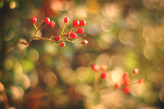 very berry bokeh (Lani Barbitta) Tags: red nature bush berry backyard nikon bokeh explore 18 lani 50mm18 d40 mostinterestingaccordingtoflickr explored flickrsbest nikond40 ultimateshot bokehwhores lanibarbitta barbitta