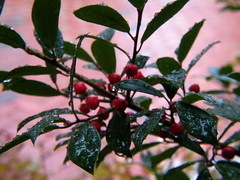 'Tis The Season (audreyjm529) Tags: red white macro green leaves rain drops berries holly raindrops tistheseason firsttheearth