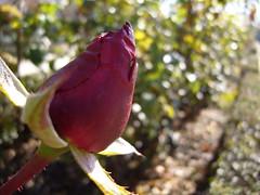 (Bluesmangbf) Tags: macro rosa capullo bluesman naturesfinest parquealmunia supershot anawesomeshot diamondclassphotographer bluesmangbf joseantoniogutirrez
