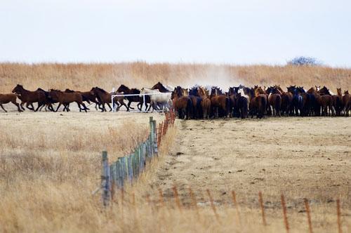 gathering mares 099