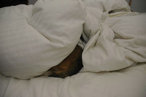 Basset 'tocks snuggling in duvet