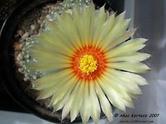 Astrophytum asterias superkabuto florecido (BOTANICA EXOTICA) Tags: astrophytum asterias superkabuto asteriassuperkabuto