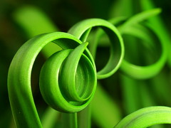 IMG_0064 (jciv) Tags: wallpaper plant macro green nature leaves spiral spirals curl rainflower raynox 430ex explore339