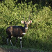 a nyala with big ears for better hearing