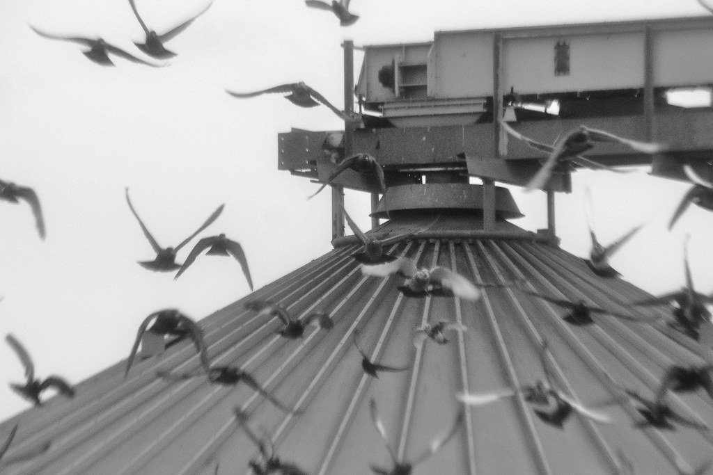in the middle of the pigeons