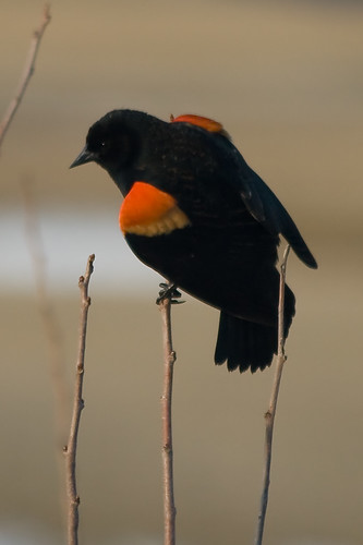 First Red-winged Blackbird of 2008