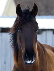 Got Milk ??? (riclane) Tags: naturesfinest horse equine nose milk mustache ranch farm animal funny humour hair mane supershot soe abigfave