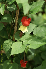 Abutilon megapotamicum (Prof KMS) Tags: abutilon malvaceae megapotamicum