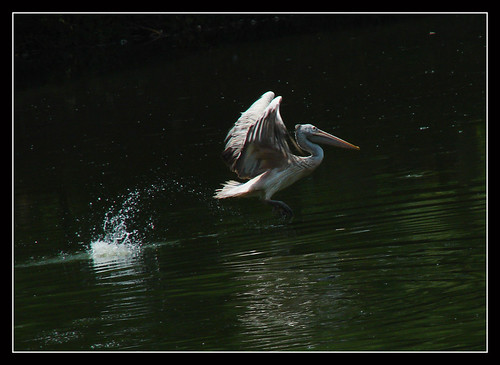 Pelican take-off !