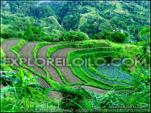 Rice Terraces Upclose