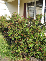 knock out roses spring 2008