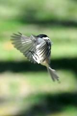 The Conductor (nosha) Tags: bird nature inflight newjersey flight nj chickadee nosha augury phlow:emote=wave noshalikes