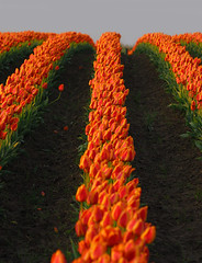 Orange Rows of Tulips (JM Clark Photography (jamecl99)) Tags: flowers orange washington nikon dof tulips rows d200 mtvernon cubism converging tulipfesitval