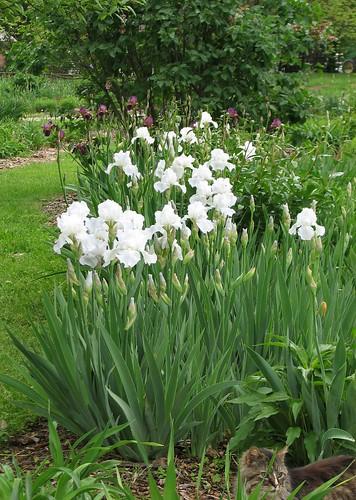 Iris 'Immortality'
