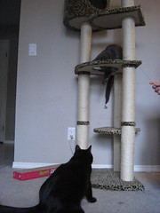 Action shots of my Cats vs The Cat Dancer (jon_a_ross) Tags: cats playing cat blackcat loki freya chasing dsh graycat catdancer greycat domesticshorthair