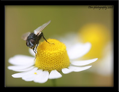 A FLY (otrocalpe) Tags: macro canon fly daisy 5d canon5d mosca margherita sigma105 camomilla megashot usatosicuro otroocalpe