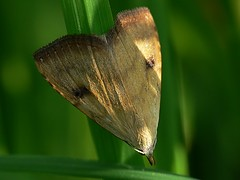 Straw Dot - Rivula sericealis (Walwyn) Tags: moth meadow straw dot lepidoptera noctuidae warwickshire walwyn ophiderinae draycotemeadows strawdot rivulasericealis rivula sericealis profmoriartydotcom:book=35 profmoriartydotcom:book=56 profmoriartydotcom:book=55 profmoriartydotcom:book=54
