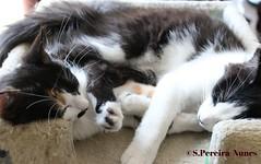 Sweet dreams of two kittens (ssspnnn) Tags: pets cat cats canoneos70d spnunes nunes snunes spereiranunes elsalvador kittens gatos gato gatito gatinho kitten felisilvestriscatus felidae felinos