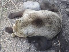 Maman ours et ses bébés ours