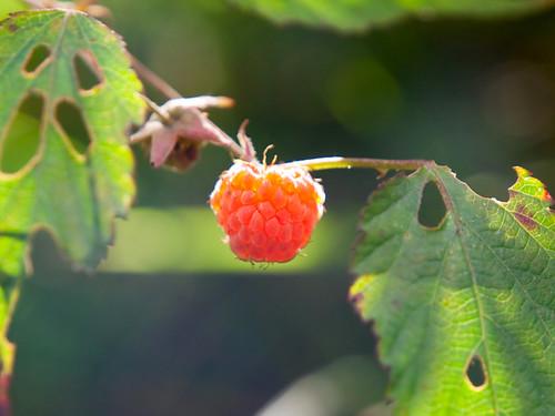 Sinko Raspberry 變葉懸鉤子