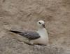 Fulmar (WaterBugsPics) Tags: sea wild cliff white nature water beautiful norfolk fulmar seabird phoddastica